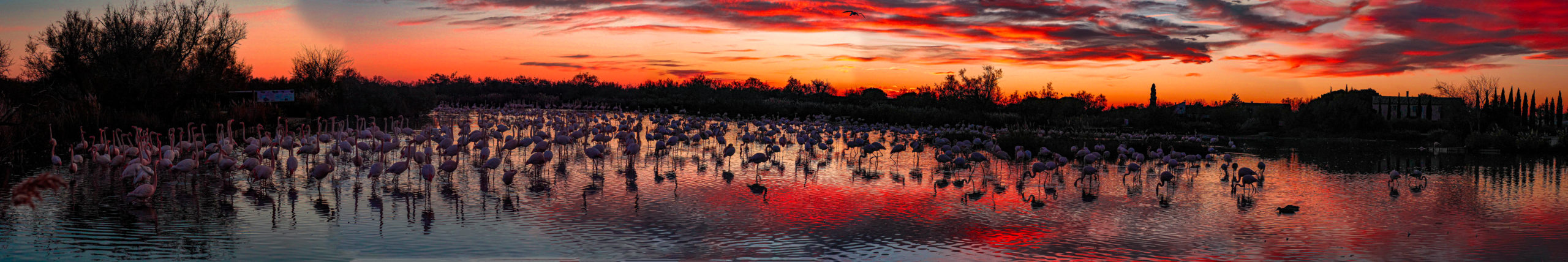 Panorama de flamants roses au coucher du soleil