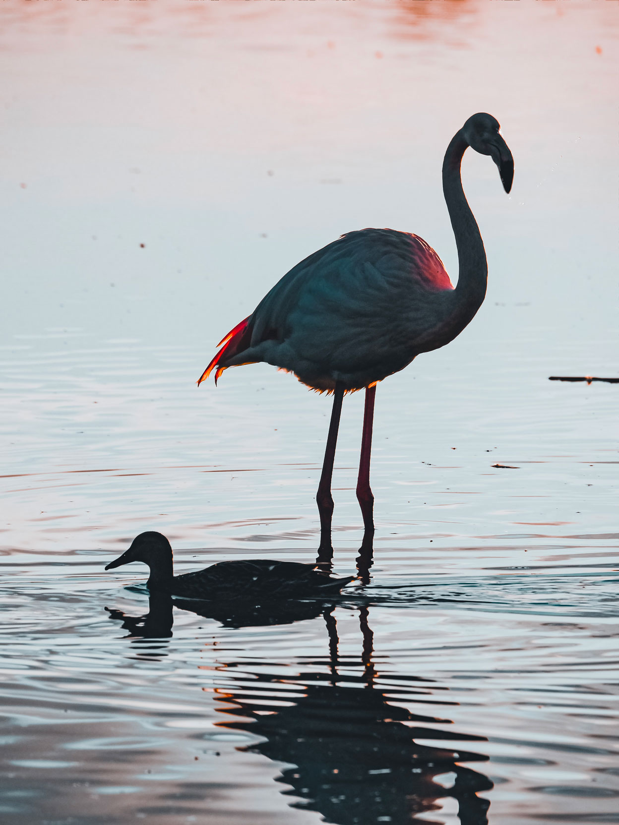 Photograph of a flamingo and a duck