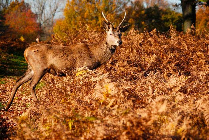 Photograph of a deer in Richmond Park, London