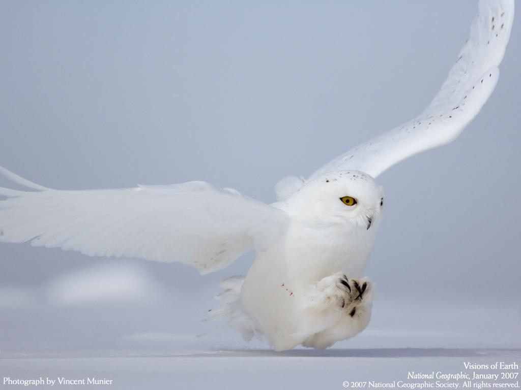 Photographie de Vicent Munier_Harfang des neiges en chasse