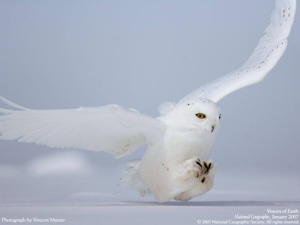 Vincent_Munier_Snowy_owl_hunting
