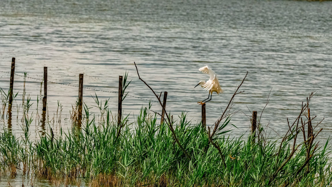 Photograph of a egret in Camargues